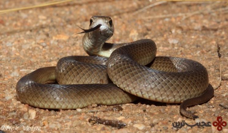 مار قهوهای (eastern brown snake)