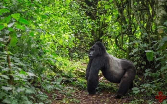 پارک ملی حفاظت شده بویندی، اگاندا (bwindi impenetrable national park, uganda)