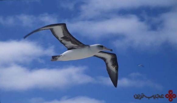 پرنده دریایی هاوایی