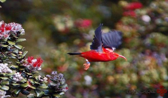 پرندگان جنگلی هاوایی