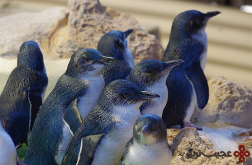 پنگوئنهای کوچک