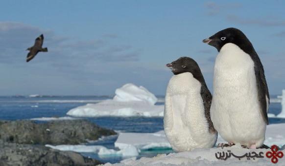 پنگوئن آدلی