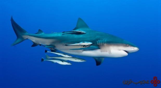 کوسه ( bull shark)