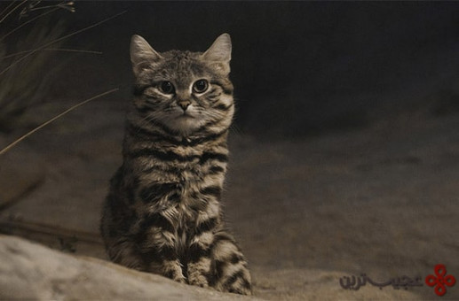 گربههای پاسیاه