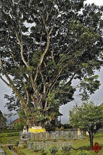 ficus bengal, india, sri lanka, the caribbean