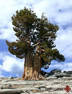 methuselah, white mountains, california, united states
