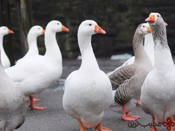 police will sometimes use geese instead of guard dogs