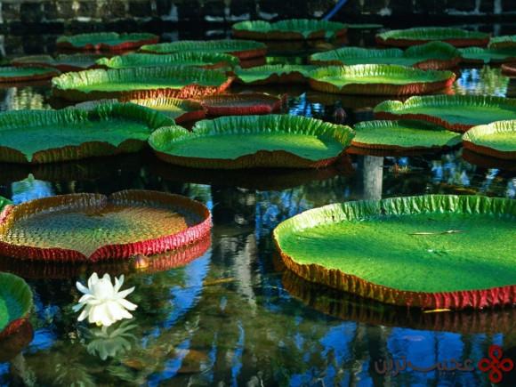 water lily victoria gardens kew (london), new york botanical garden