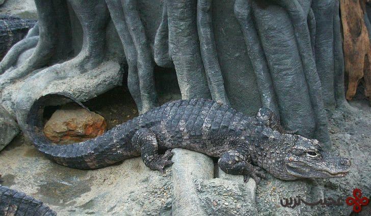 chinesealligator15