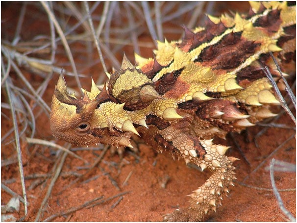 cover thorny devil
