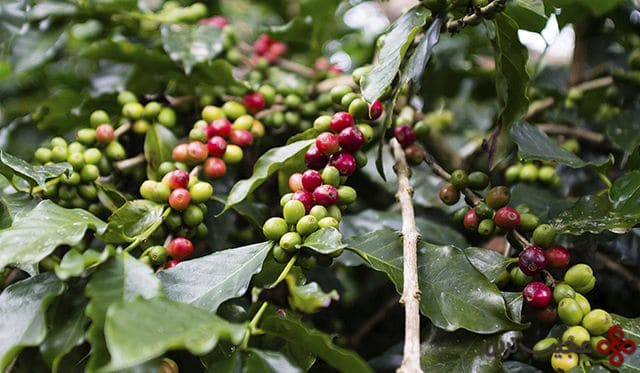 gree red coffee beans on tree honduras