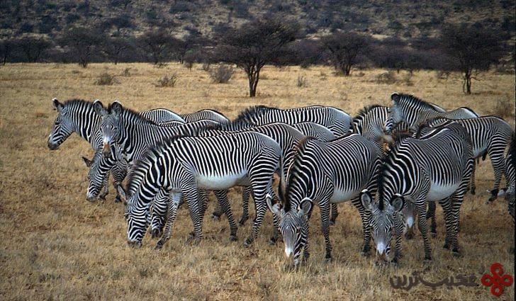 samburu grevy s zebra