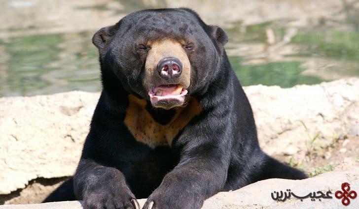 sun bear 3