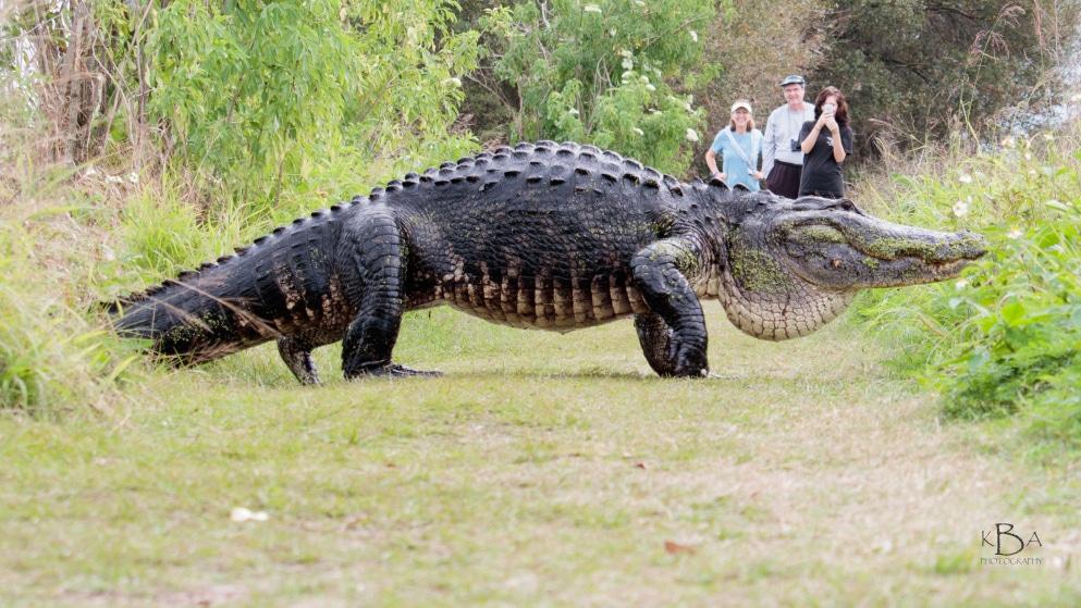 تمساح عظیمالجثه در فلوریدا!