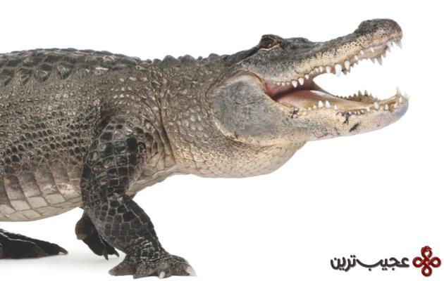 تمساح آمریکایی