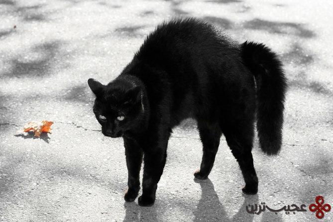 گربههای سیاه