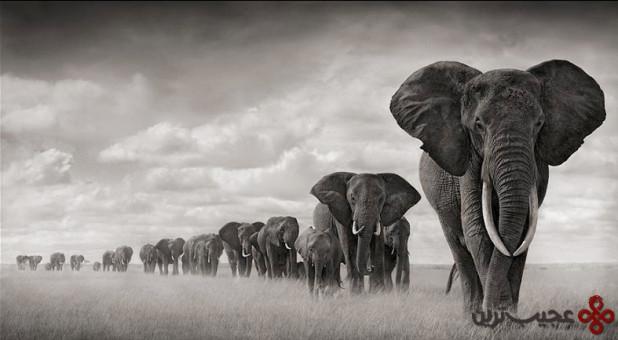 آیا میدانستید امروزه تنها سه گونه از فیل وجود دارد؟