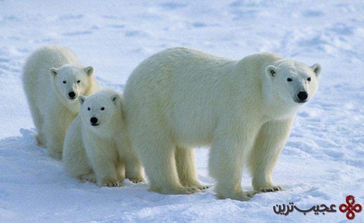 خرسهای قطبی و پنگوئنها یک جا زندگی میکنند
