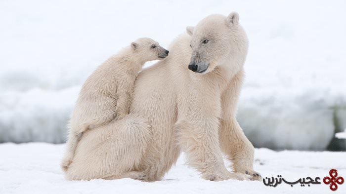 خرس قطبی1