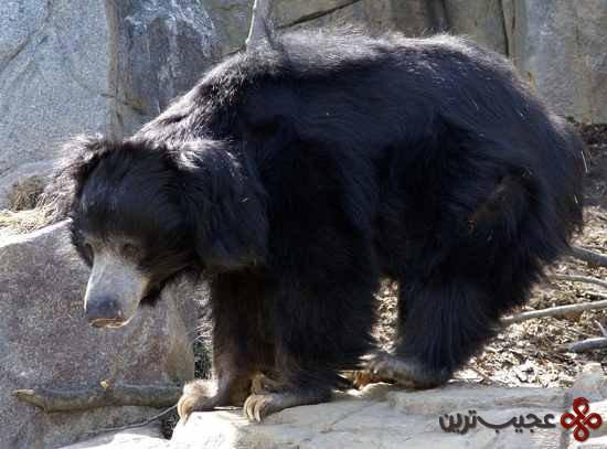 خرس میسور