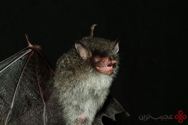 خفاش دماغلولهای شیطاننما