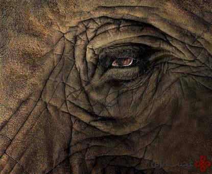 دوران بارداری فیل ۲۲ ماه است