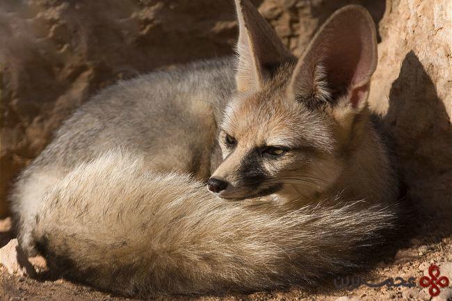 روباه بلانفوردیا شاه روباه