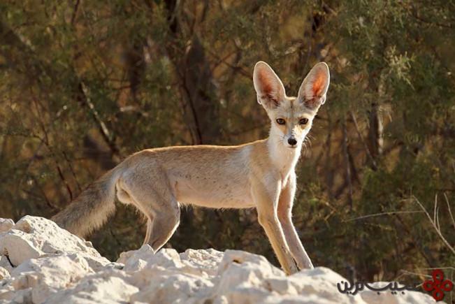 روباه شنی یا روباه روپل