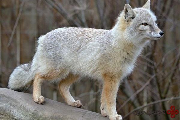 روباه کرساک یا روباه ترکمنی