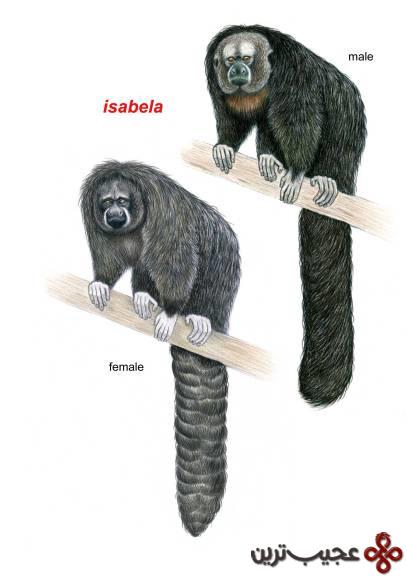 pithecia isabela