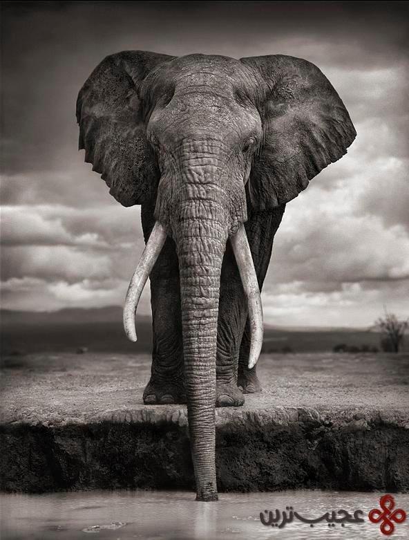 عاجهای فیل دومین دندانهایش هستند