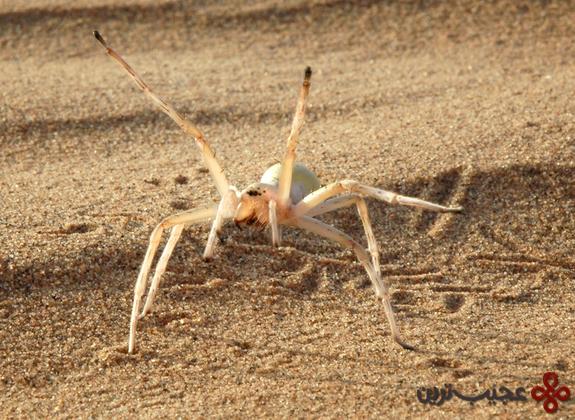 عنکبوت آکرباتیک