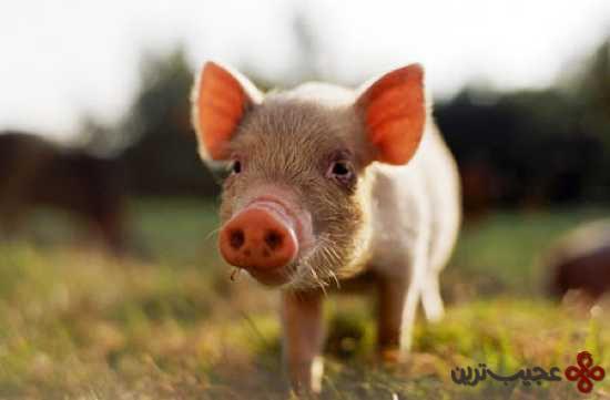 فرانسه؛ هیچکس حق ندارد خوکش را ناپلئون بنامد