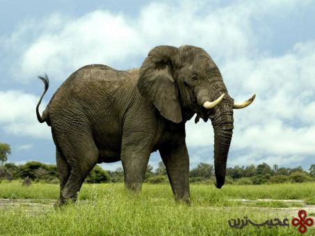 فیلها بزرگترین حیواناتی هستند که بر روی خشکی زندگی میکنند