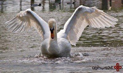 قوهای خشمگین (swans)
