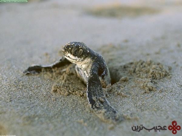 لاکپشت دریایی لدربک