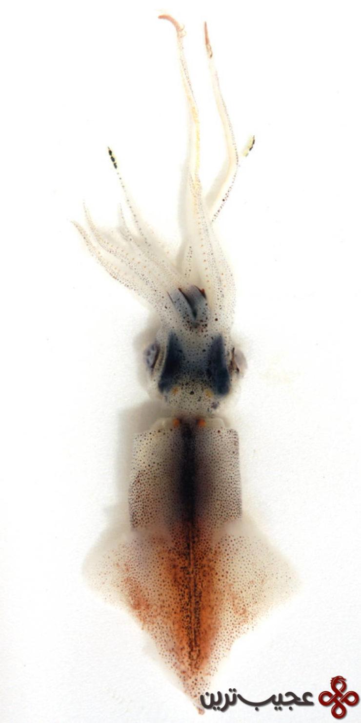 ماهی مرکب شب تاب (firefly squid) 1