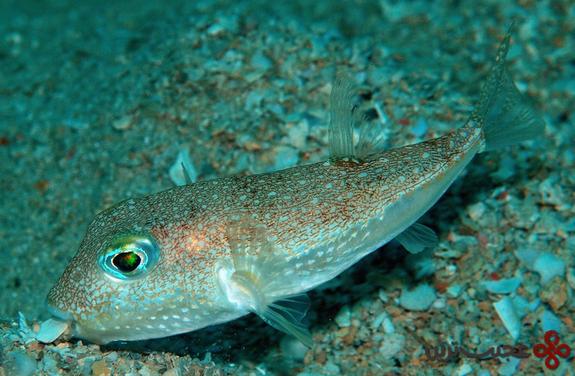 ماهی هایی که کف دریا را تزیین می کنند