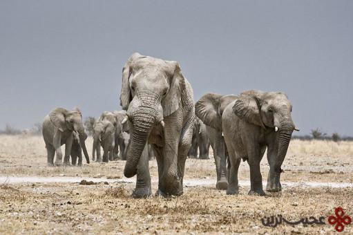 مغز فیل با جرم بیش از ۵ کیلوگرم (۱۱ پوند)، بزرگتر از مغز هر حیوان دیگری در خشکی است