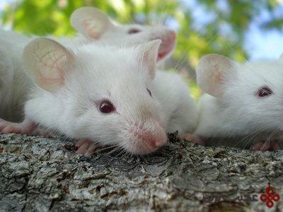 موش های شعبده باز
