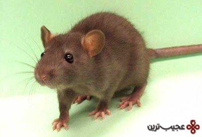 و باز هم موش ها
