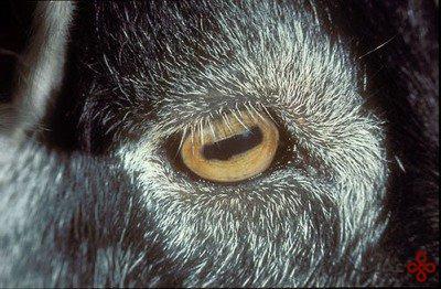 چشم های مستطیلی