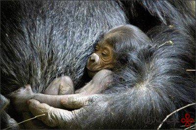 گوریلا گوریلا گوریلا (gorilla gorilla gorilla)