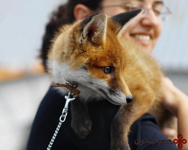 pet foxes